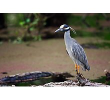 Yellow-Crowned Night-Heron on a Log (Nyctanassa violacea) Photographic Print