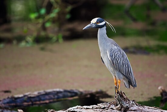 Yellow-Crowned Night-Heron on a Log (Nyctanassa violacea) by Paul Wolf