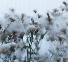 flowers and seeds of thistle by mrivserg
