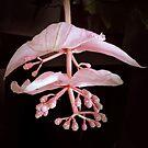 Medinilla magnifica by bubblehex08
