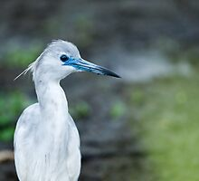 Little Blue Heron Juvenile (Egretta caerulea) by Paul Wolf