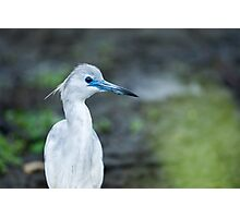 Little Blue Heron Juvenile (Egretta caerulea) Photographic Print