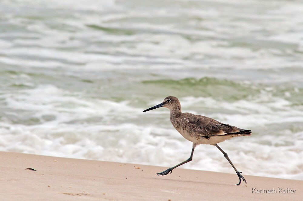 Willet (a type of sandpiper) Running Along the Beach by Kenneth Keifer