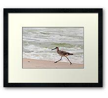 Willet (a type of sandpiper) Running Along the Beach Framed Print