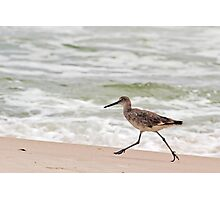 Willet (a type of sandpiper) Running Along the Beach Photographic Print