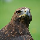 Steppe Eagle  by Declan Carr