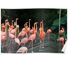 Flamingoes inside the Jurong Bird Park in Singapore Poster