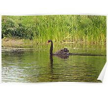 Black Swan, Ottawa Ontario Poster