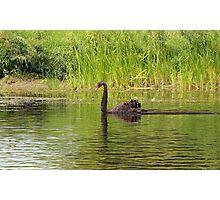 Black Swan, Ottawa Ontario Photographic Print