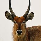 Portrait of a large male waterbuck by jozi1