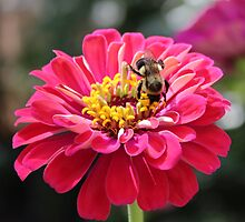 Bee Feeding On A Flower by Cynthia48
