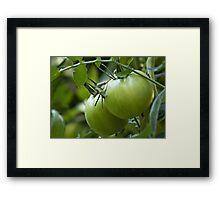 Green Tomatoes on the Vine Framed Print