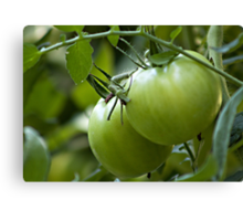Green Tomatoes on the Vine Canvas Print