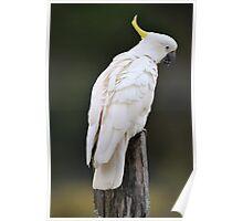 Sulphur Crested Cockatoo. Cedar Creek, Qld, Australia.  Poster