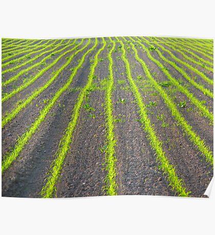 Field Arable Grain Plant Poster