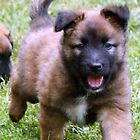 German Shepherd Puppy by Heidi Mooney-Hill