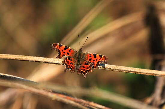 Comma Butterfly by Hovis
