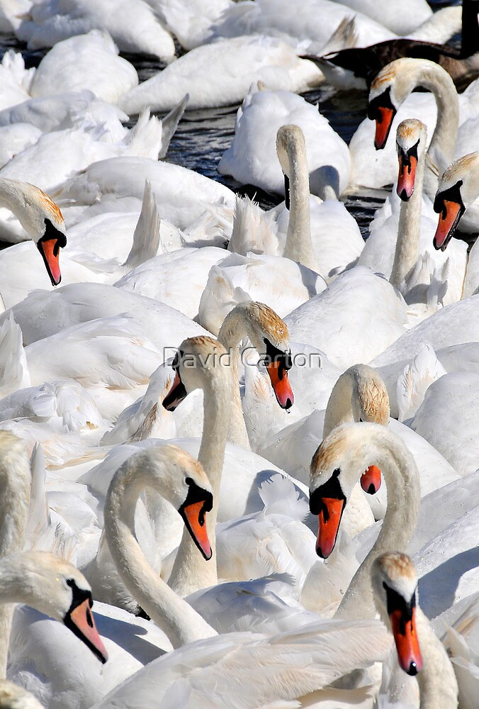 Abbotsbury swannery, Dorset, UK by David Carton