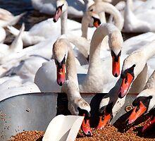 Swans feeding themselves, Abbotsbury swannery, Dorset by buttonpresser