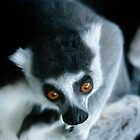 It&#x27;s a Lemur! by bluetaipan