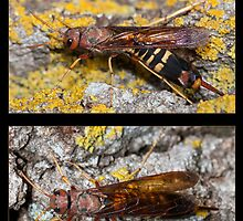 The Pigeon Horntail - Wood Wasp by DigitallyStill