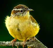 Carolina Wren (Thryothorus ludovicianus) by Paul Wolf