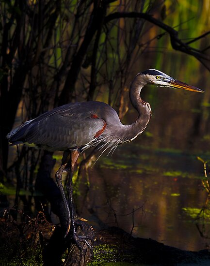Great Blue Heron (Ardea herodias) in its Environment by Paul Wolf