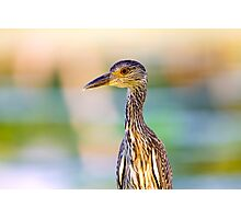 Juvenile Yellow-Crowned Night-Heron Photographic Print