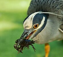 Yellow-Crowned Night-Heron Eating a Crawfish by Paul Wolf