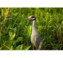 Yellow-Crowned Night-Heron in its Environment Photographic Print