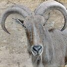 Aoudad - Wild Sheep of Africa by Dyle Warren