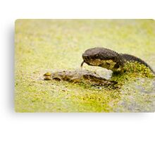 Water Moccasin (Agkistrodon piscivorus) Eating a Bullfrog, 1 of 4 Canvas Print