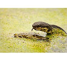 Water Moccasin (Agkistrodon piscivorus) Eating a Bullfrog, 1 of 4 Photographic Print