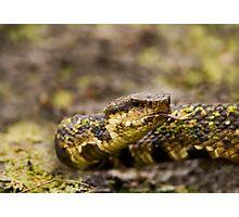 Water Moccasin (Agkistrodon piscivorus) Photographic Print