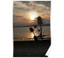A silhouette of a Thistle whilst the sun sets Poster