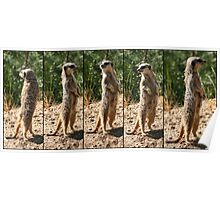 Compare the Meerkat Poster