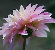 Backlit Pink by Monnie Ryan