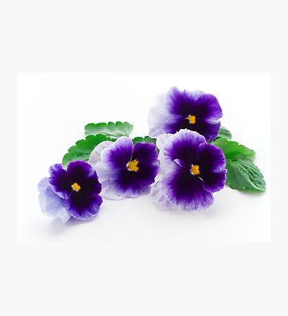 beautiful purple pansy  Photographic Print