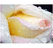 Tears of a Rose Photographic Print