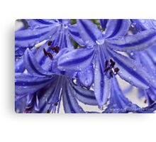 Agapanthus / African Lillies  Canvas Print