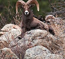 Rocky Mountain Bighorn sheep on lookout by Gary  Langley