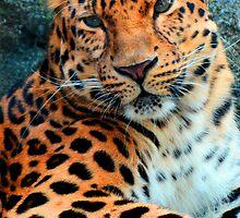 Amur Leopard ~ A Solemn Portrait by shutterbug2010