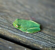 Green Tree Frog by -aimslo-