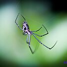 Silver Orb Spider by -aimslo-