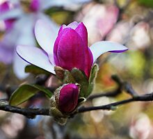 Magnolias In Bloom by Evita
