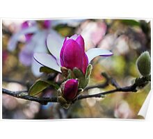 Magnolias In Bloom Poster