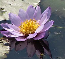 Kimberley Water Lily Flower by DianneLac