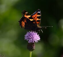 Tortoise shell butterfly, English Countryside. by leetommo