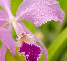 Ice Pink Cattleya  by NatalieCBell