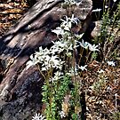 Flannel Flowers in Natural Environment by George Petrovsky